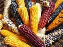 maiz 1.jpg